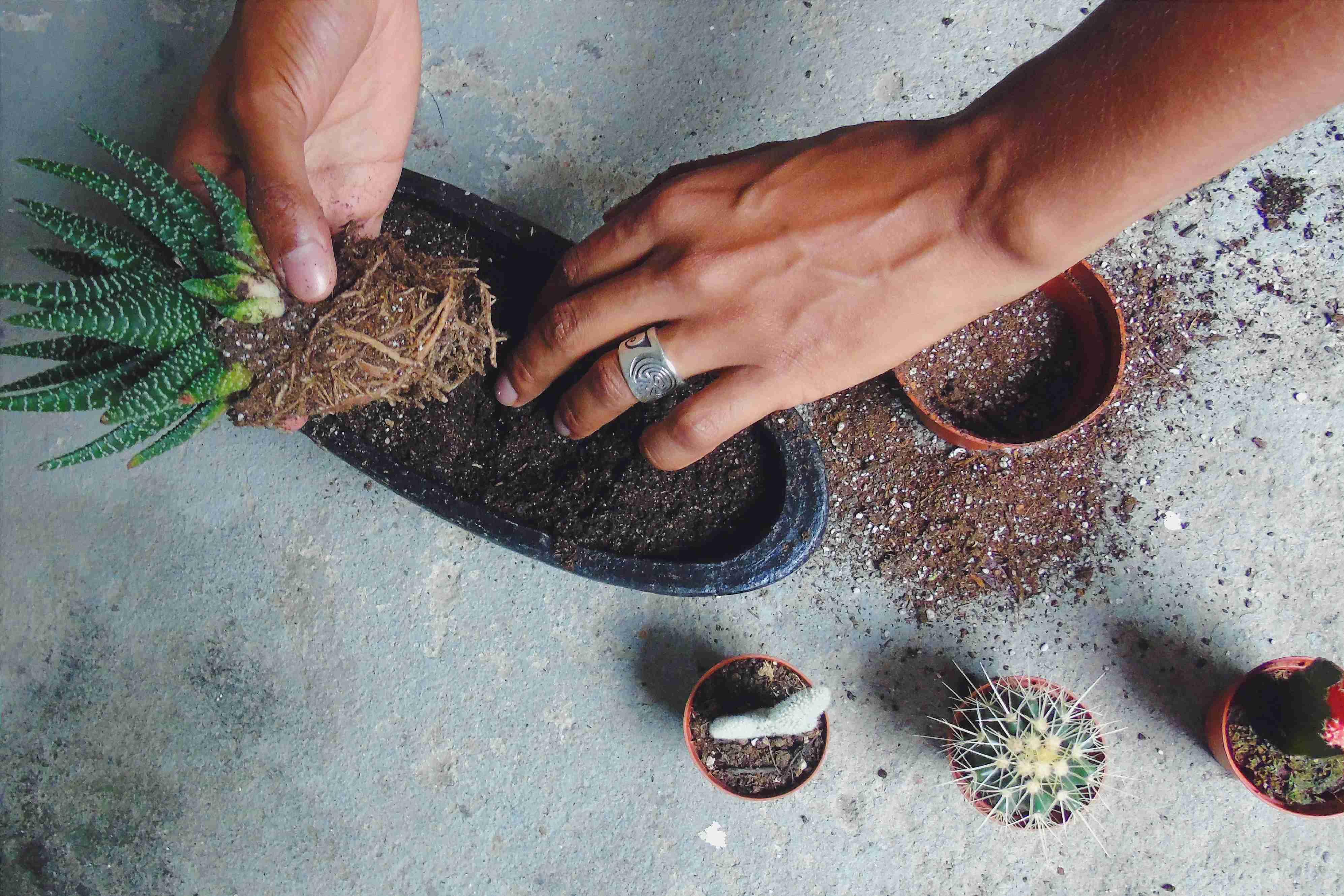 Planting succulent.